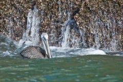 пеликан океана Стоковое Изображение RF