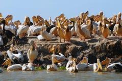 пеликан острова стоковое изображение
