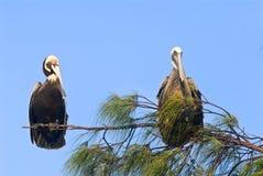 пеликан пар Стоковые Изображения RF