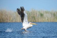 пеликан Пеликаны род больших птиц воды который составляет Pelecanidae семьи Они охарактеризованы длинным клювом и Стоковая Фотография RF