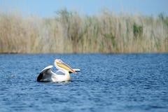 пеликан Пеликаны род больших птиц воды который составляет Pelecanidae семьи Они охарактеризованы длинным клювом и Стоковое Изображение