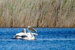 пеликан Пеликаны род больших птиц воды который составляет Pelecanidae семьи Они охарактеризованы длинным клювом и Стоковые Фотографии RF