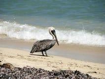 пеликан пляжа Стоковое Изображение RF