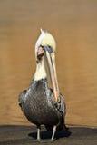 пеликан поврежденный коричневым цветом Стоковое Изображение RF