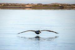 Пеликан пока летающ на заход солнца Стоковые Изображения RF