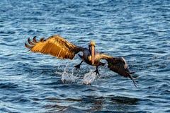 Пеликан пока летающ на заход солнца Стоковое Изображение