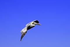 пеликан полета Стоковые Фотографии RF