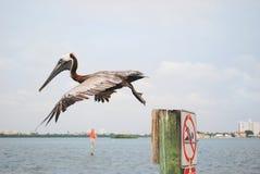 пеликан полета Стоковое Изображение RF