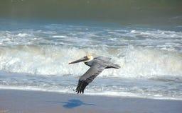 пеликан полета Стоковые Изображения