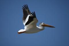 пеликан полета Стоковое Изображение