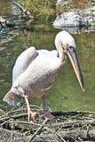 Пеликан получает ванне солнца более близкое реку Стоковые Изображения RF