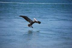 пеликан посадки стоковое изображение rf