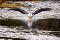 Пеликан посадки стоковые фотографии rf
