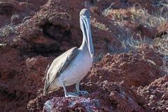 Пеликан сидя на скалистом пляже в островах Галапагос стоковая фотография