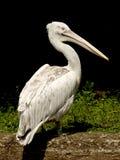 пеликан Стоковая Фотография