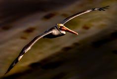 пеликан 21 Стоковые Изображения RF