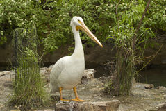 пеликан Стоковое Изображение RF