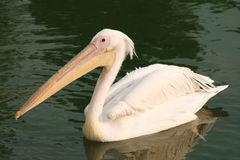 пеликан Стоковые Фото