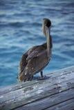 пеликан belize стоковая фотография rf