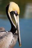 Пеликан Brown Стоковое Изображение