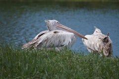 Пеликан Brown Стоковое Изображение RF