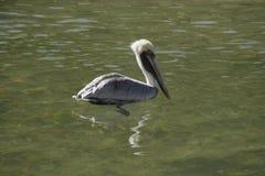 пеликан bworn плавая Стоковая Фотография