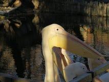 Пеликан Reat белый, onocrotalus Pelecanus также известное как восточный белый пеликан, румяный пеликан или белый пеликан стоковая фотография