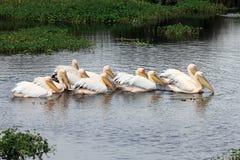 пеликан s Стоковая Фотография RF