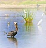 Пеликан wading Стоковое фото RF