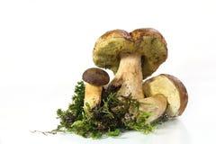 пенни гриба плюшки подосиновика edulis Стоковое Изображение
