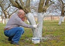 Пенсионер отбеливает хобот плодоовощ-дерева Весна работает в саде стоковые изображения