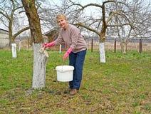 Пенсионер отбеливает хобот яблони Весна работает в саде стоковые фотографии rf