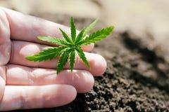 Пенька пускает ростии расти Фермеры засаживают саженец марихуаны Крупный план руки с саженцем конопли outdoors стоковое изображение