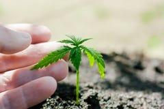 Пенька пускает ростии расти Фермеры засаживают саженец марихуаны Крупный план руки с саженцем конопли outdoors стоковые фотографии rf
