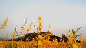 Пенька Sunn Стоковое Изображение RF