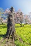 Пень высокого дерева Beautuful на травянистом холме с розовой подачей магнолии Стоковая Фотография RF