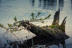 Пень в воде Стоковые Фото