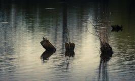 Пень в воде Стоковое Фото