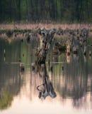 Пень в воде Стоковые Изображения RF