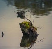 Пень в воде Стоковое Изображение