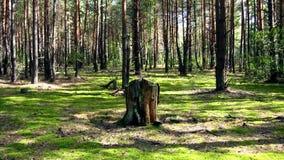 Пень в лесе Стоковое Изображение