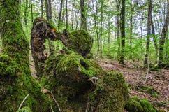 Пень в лесе Стоковое Фото