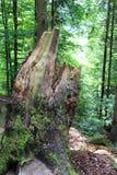 Пень в лесе Стоковая Фотография