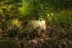 Пень в осени sunlit с солнечным светом Стоковая Фотография RF