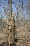 Пень дерева гнить в лесе thé стоковые изображения
