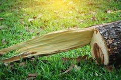 Пень дерева после дерева был отрезан вниз в парке Мертвое дерево стоковое изображение