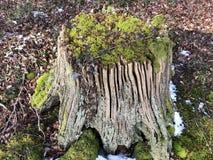 Пень дерева с мхом Стоковая Фотография RF