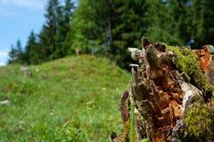 Пень дерева с moos дерева на высокогорном луге Стоковые Фотографии RF