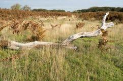 Пень дерева в ландшафте дюны. Стоковые Фото