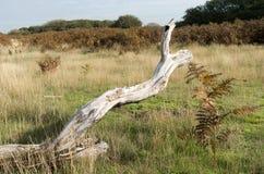 Пень дерева в ландшафте дюны. Стоковые Изображения